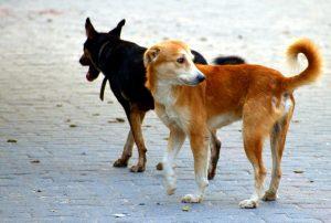 Les chiens communautaires de Bucarest